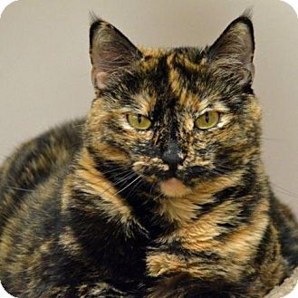 St. Petersburg, FL - Domestic Shorthair. Meet Bailey, a cat for adoption. http://www.adoptapet.com/pet/14922051-st-petersburg-florida-cat