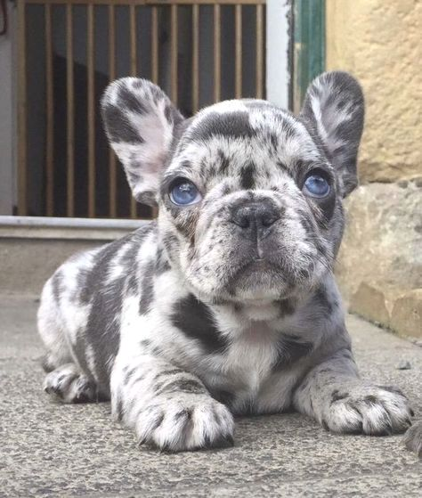 Pin by dog lover on Frenchie Cute dogs, Cute baby