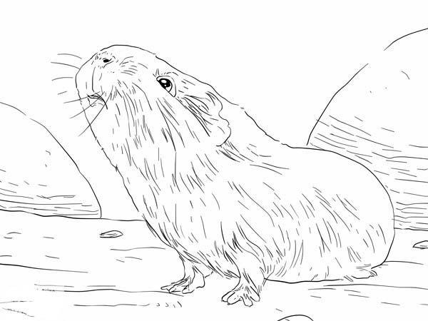 Guinea pig guinea pig smelling food coloring page for Free guinea pig coloring pages