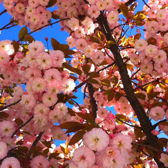 Blossoms Vitoria Gasteiz Spain Science And Nature Blossom Cherry Blossom