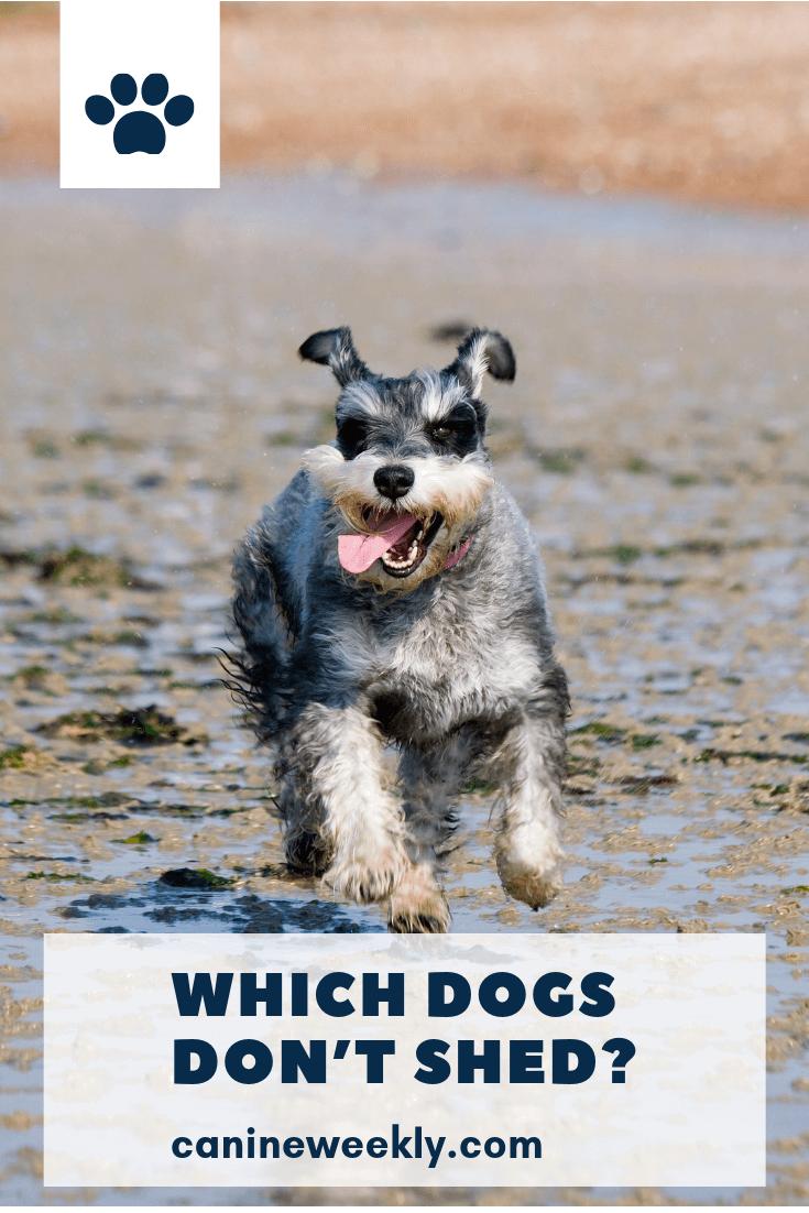 13 Big Dogs That Don T Shed Large Non Shedding Dog Breeds Training Your Dog Dog Shedding Cute Dogs