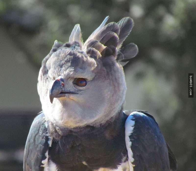 這隻老鷹的側面只能用霸氣來形容,但當牠轉到正面…我真的很後悔自己邊喝水邊看! - boMb01