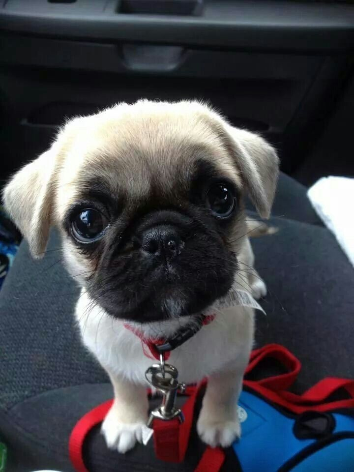 Pin By Salina Victoria On Am Inals Baby Pugs Pug Puppies Cute