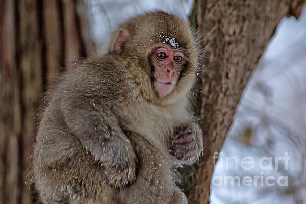 A baby snow monkey or Japanese macaque plays in the snow in Jigokudani monkey park in Japan.