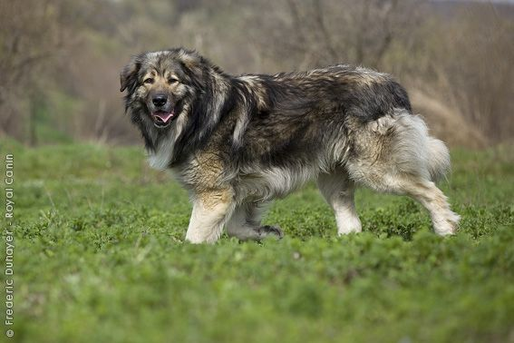 Karpaten Schaferhund Royal Canin Osterreich Hunde Rassen Hunderassen Hirtenhund