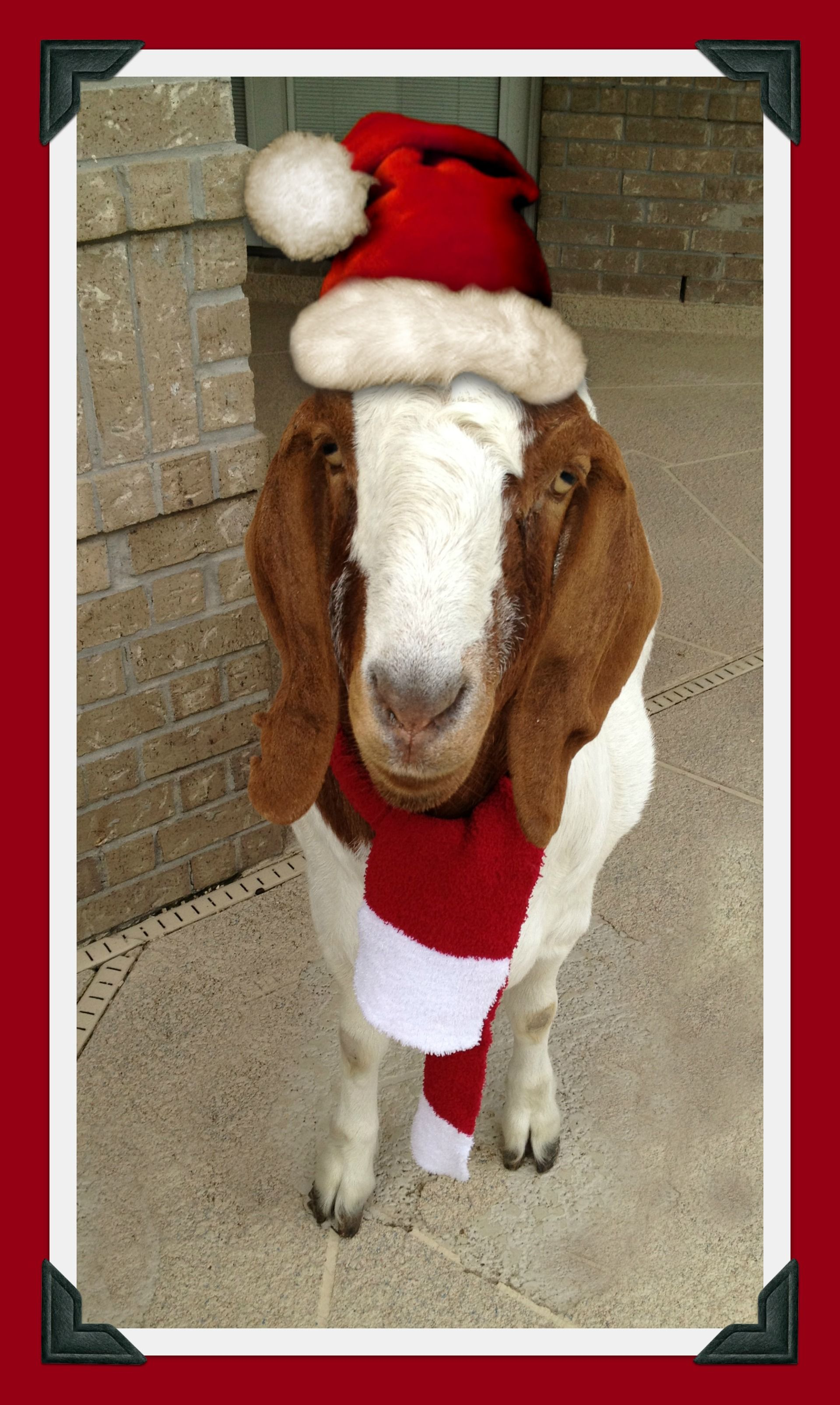Merry Christmas from Gus the Goat! | Goats, Merry ...