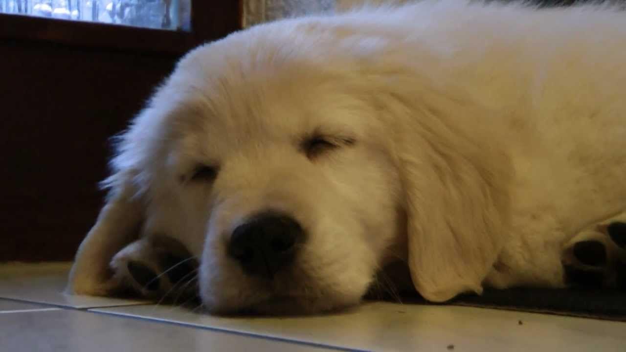 Golden Retriever Puppy Henry 8 Weeks Old Golden Retriever