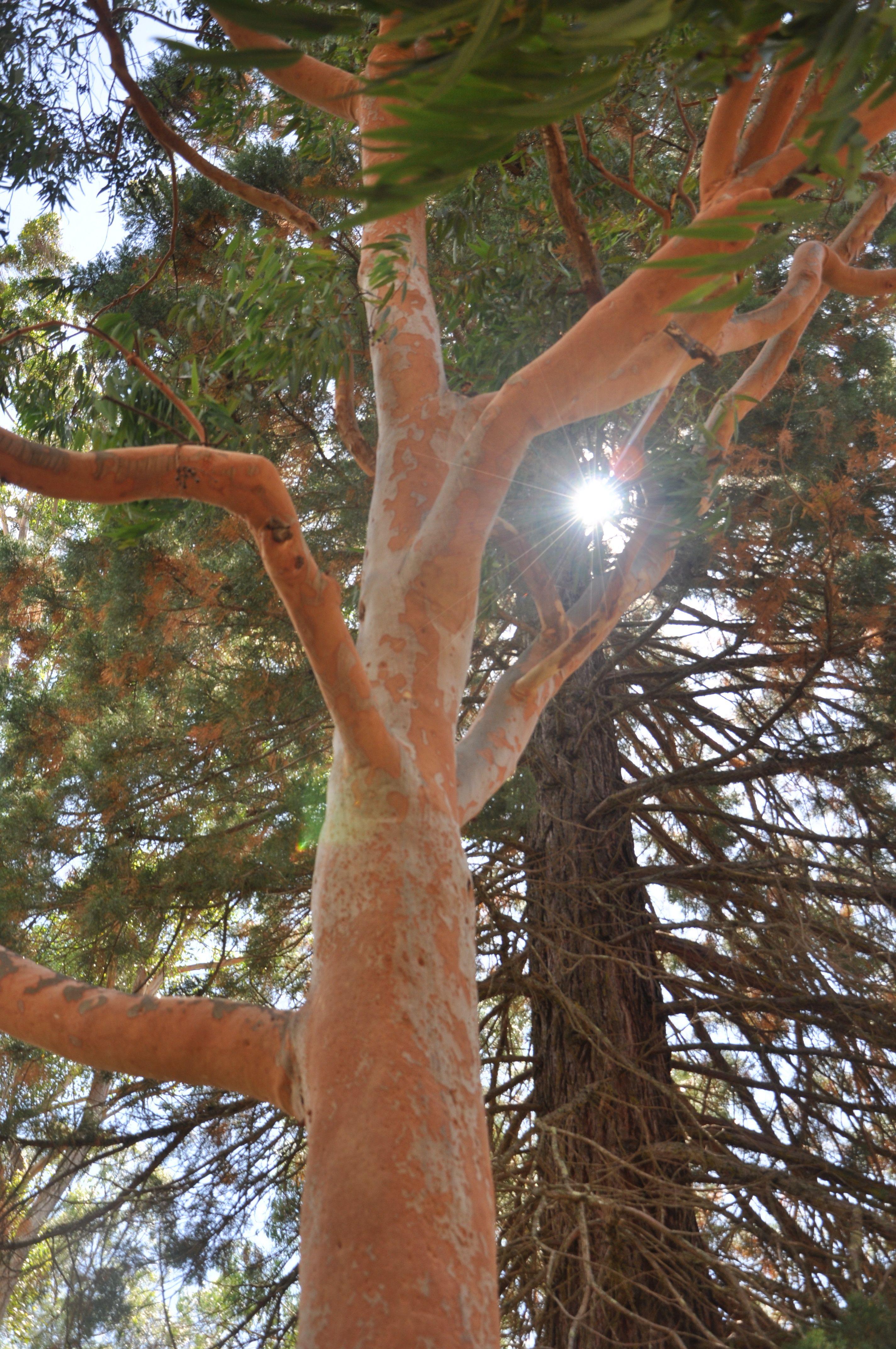 Red Gum Tree Oz Australian Trees Eucalyptus Tree Tree
