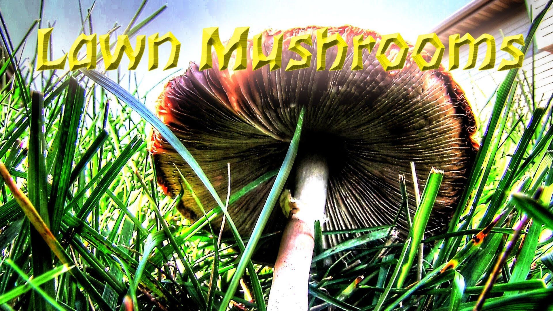 I have mushrooms in my lawn today i show you why