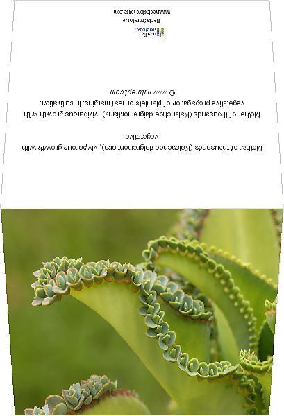Photo of Print of Mother of thousands (Kalanchoe daigremontiana), viviparous growth with vegetative