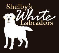 White Lab Breeders English Snow White Labrador Retrievers Puppies