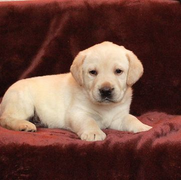 Labrador Retriever Puppy For Sale In Gap Pa Adn 65383 On