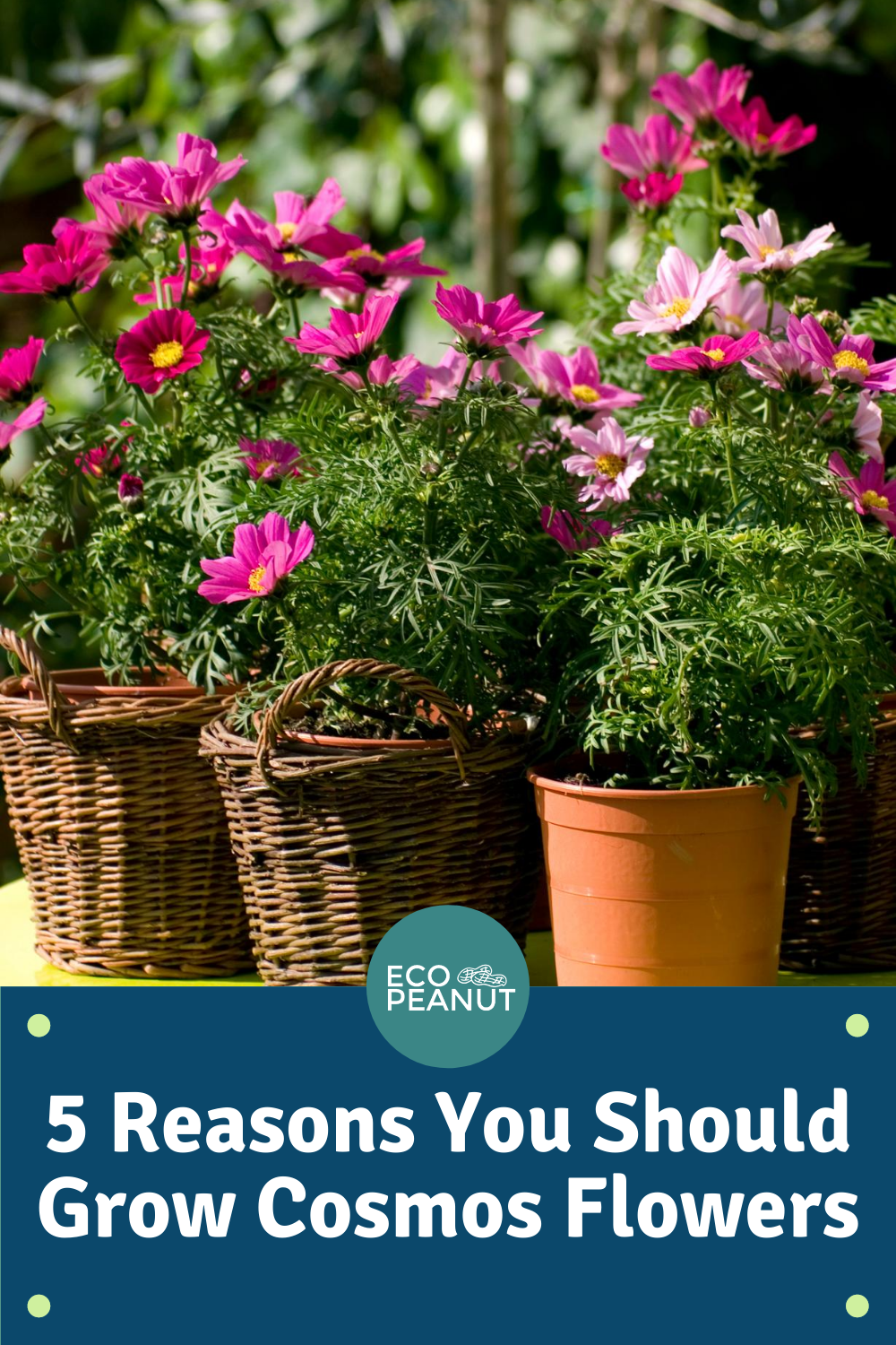 5 Reasons You Should Grow Cosmos Flowers Tips Guaranteed To Inspire Eco Peanut In 2020 Cosmos Flowers Flowers Plant Species