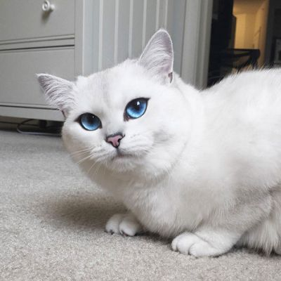 White Cat With Blue Eyes Wallpaper Gatos Bonitos Ojos De Gato Gatos