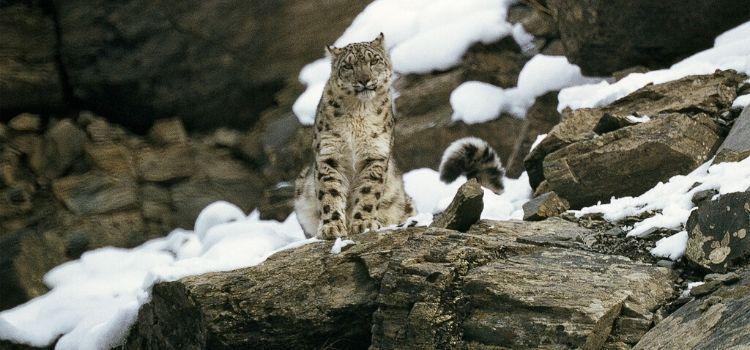Leopardo se cría extinto y reaparece. Sin humanos este se sintió seguro