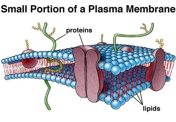 Plasma membrane | Biology Online Tutoring | Pinterest
