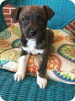 Fort Collins Co Border Collie Boxer Mix Meet Effie Denver A