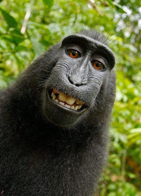 Estas son las imágenes maravillosas-chimpancé ly capturados por un mono fresco después de dar vuelta a las tablas en un fotógrafo que dejó su cámara no tripulado.  (Foto por David Slater)