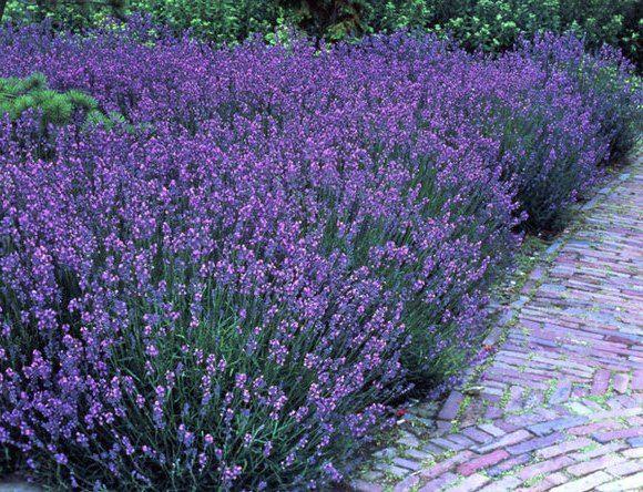 lavendel * Lavendel Pinterest Lavendel, Bodendecker und Stauden