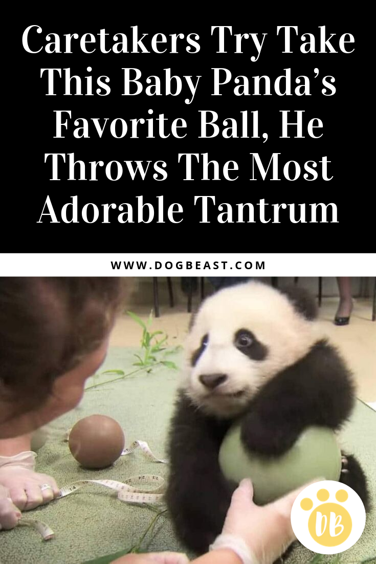 Caretakers Try Take This Baby Panda's Favorite Ball, He Throws The Most Adorable Tantrum #babypandas