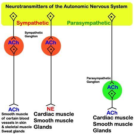 neurotransmitter preganglionic postganglionic - Google ...