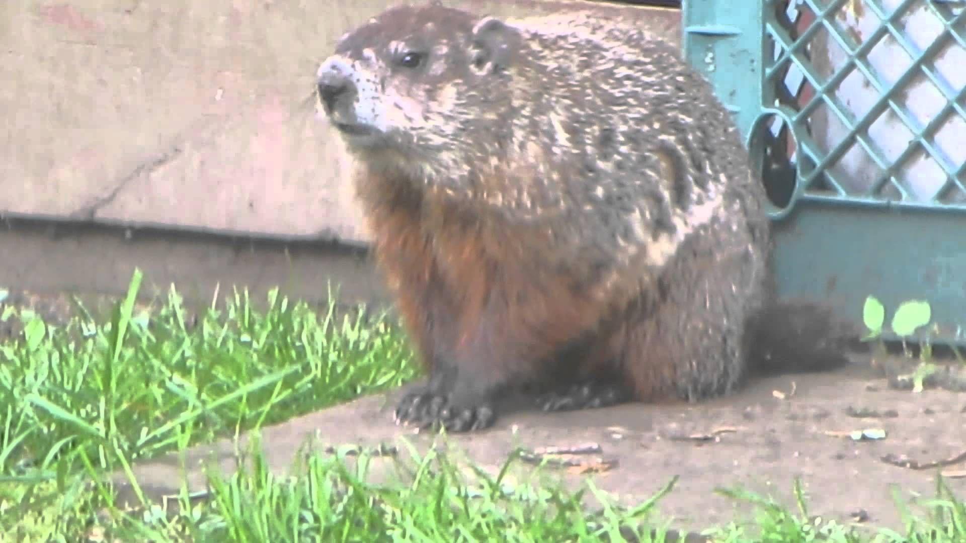 Groundhog In Backyard - BACKYARD HOME