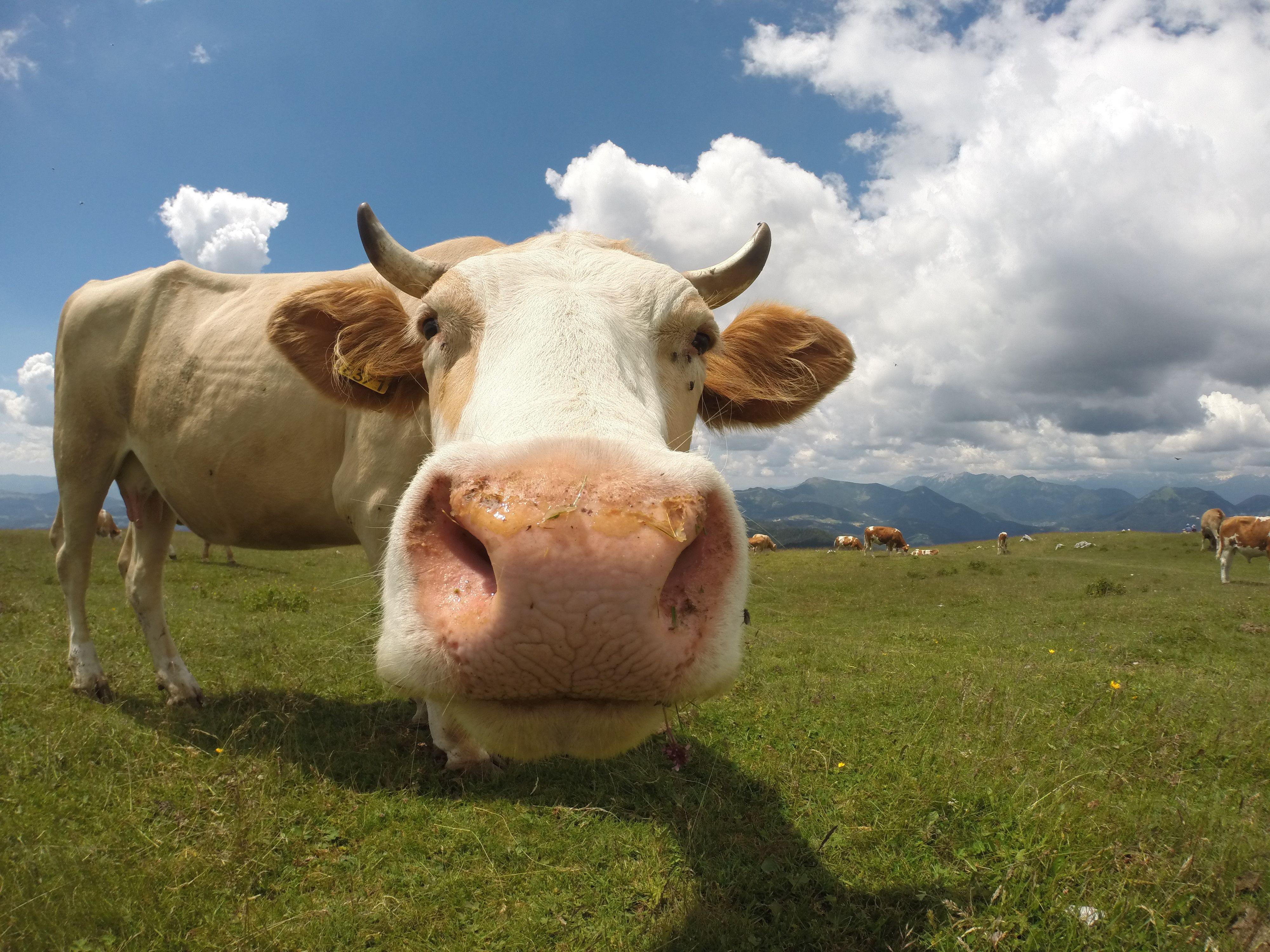 Смешная картинка с коровой