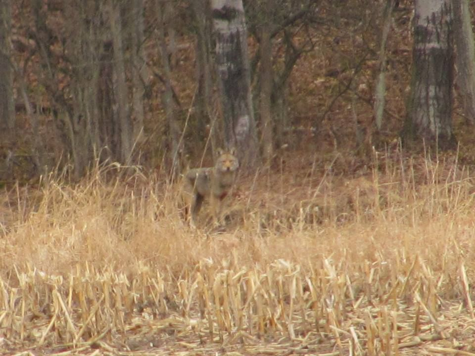 A coyote hunting on the outskirts of the park photo