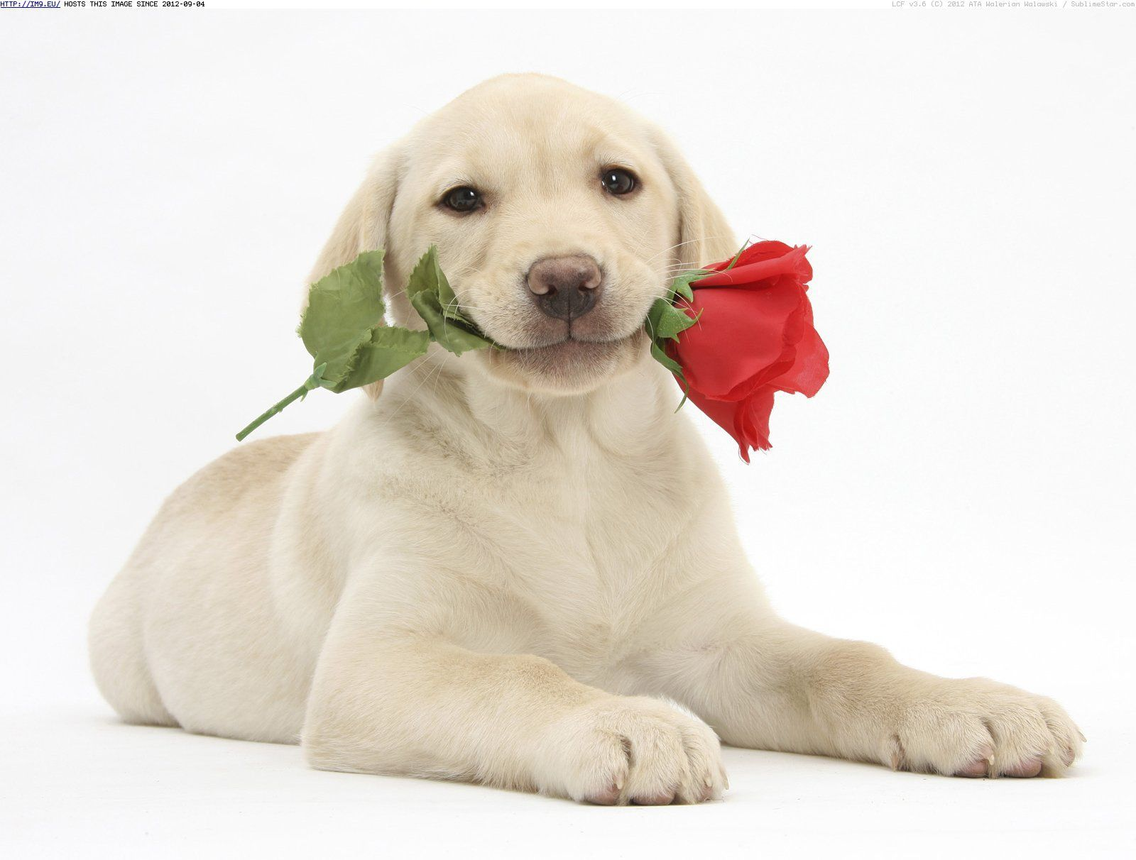 Dog Valentine S Day Wallpapers Dog With A Rose On Valentine S Day