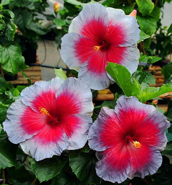 Exotic Hibiscus \'Out of the Ashes\' | Hibiscus | Pinterest | Hibiscus ...