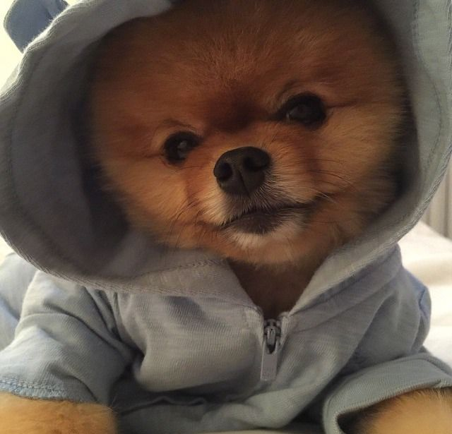 Pin By Megan Elizabeth On Jiff Pom Animals Puppies Teddy Bear