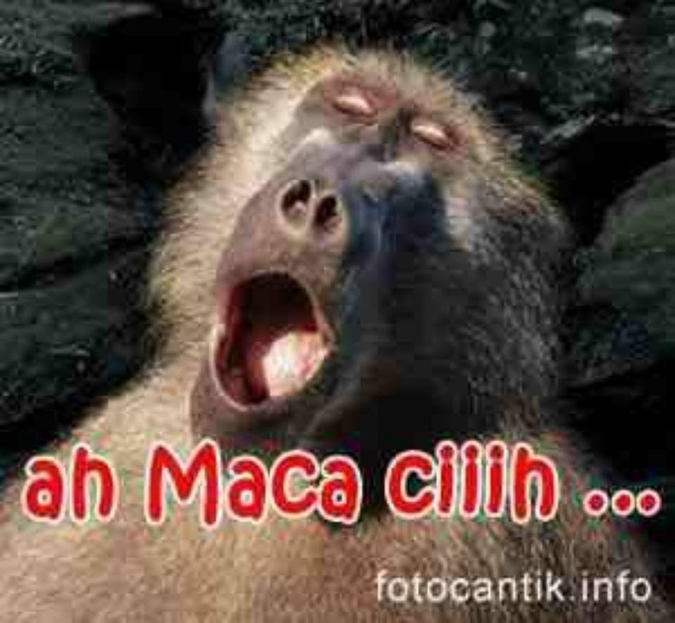 30 Gambar Monyet Lucu Kata2 Gambar Lucu Hd Lucu Gambar Lucu Orangutan