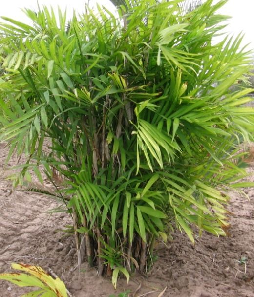 7c8ef1910c855600f20d6763529811c5 Palm Tree Types Of Houseplants on types of indoor palms, types of bamboo houseplants, common palm houseplants, types of trees in florida, types of lily houseplants,