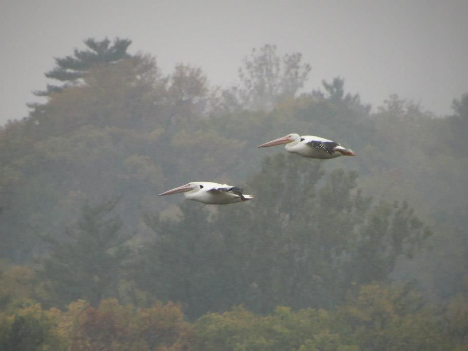 American White Pelicans take flight (Southwest Chicago Suburbs -- photo by: Andie Groff)