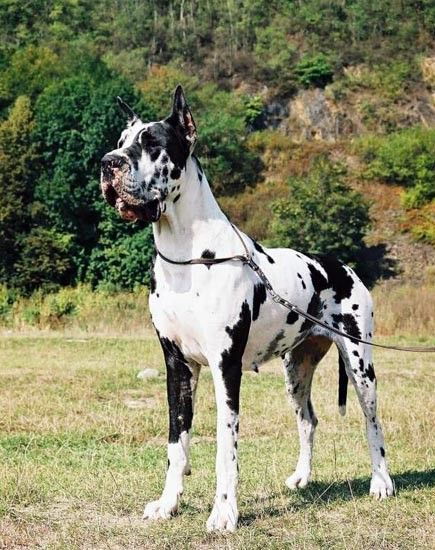 Harlequin Great Dane Puppies Ollada Arlekin Antey Male