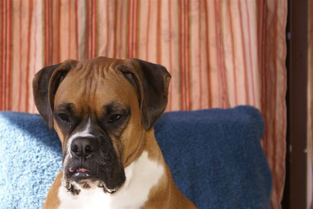 BoxersRule > Taping Natural Ears