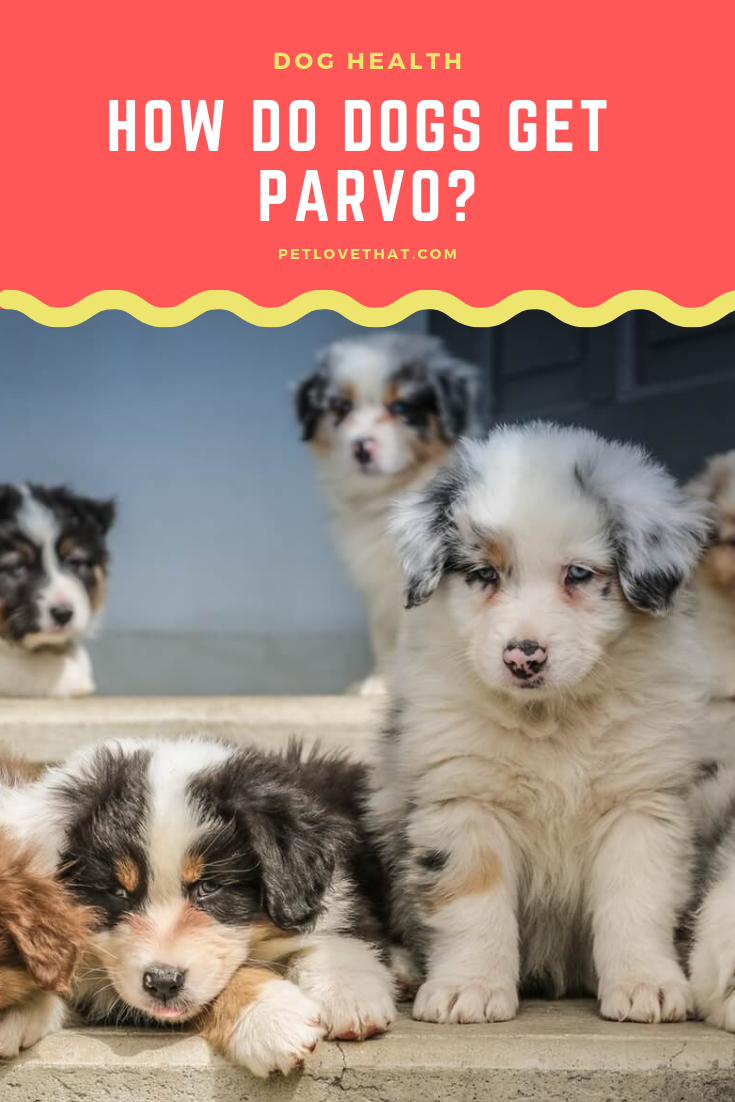 How Do Dogs Get Parvo Dogs