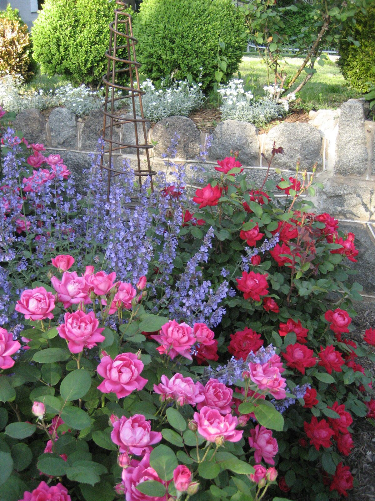 Mix Of Knockout Roses And Catnimp Very Prettyfor Backyard Raised Beds