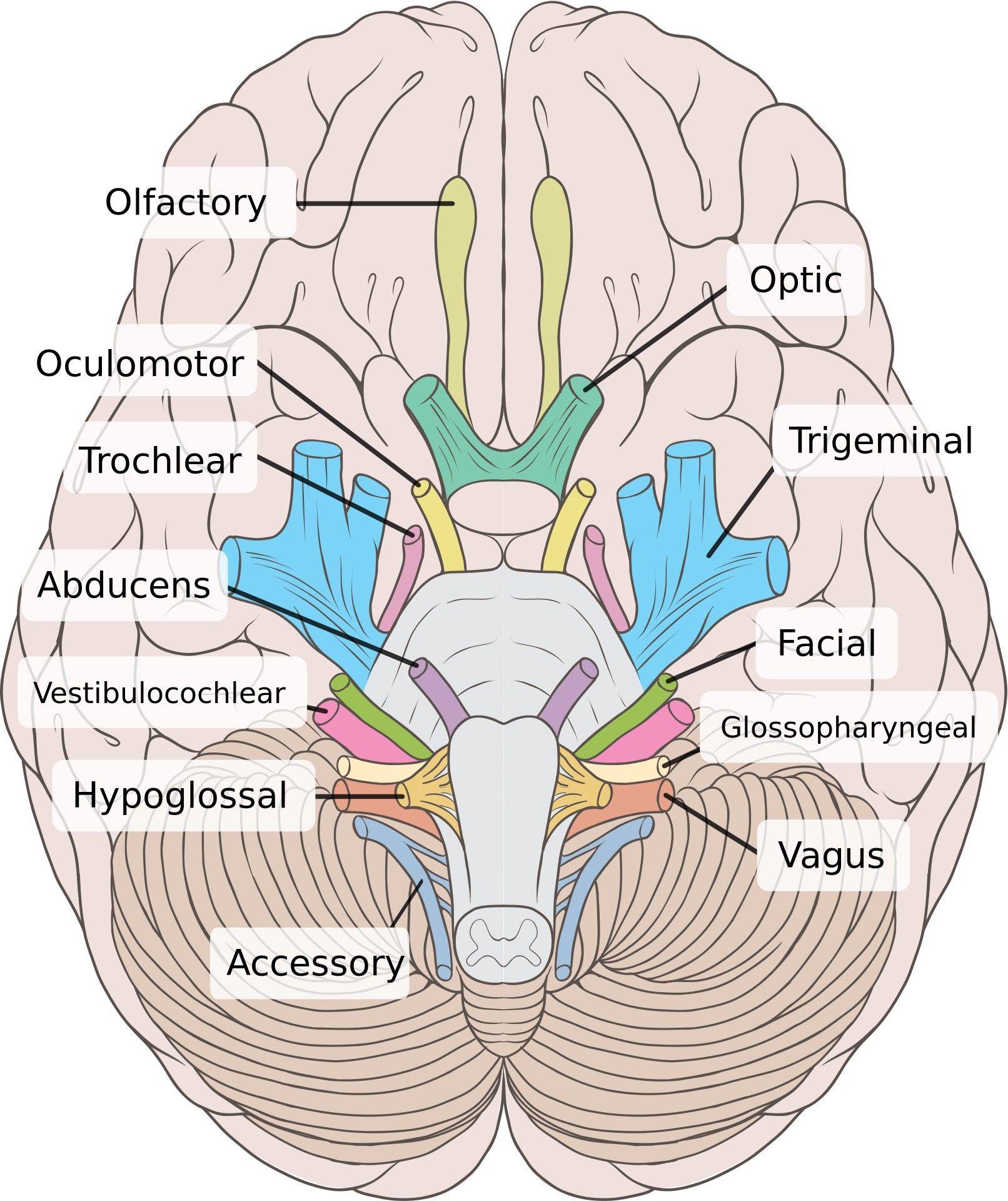 Pathology Part I A Walk Around My Brainstem Cranial Nerves Anatomy Nerve Anatomy Anatomy And Physiology