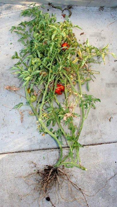 Tomato Grafting Fail https://t.co/e4m0pZpGKc #garden #gardening https://t.co/9IhMko9IKy (via Twitter http://twitter.com/TIMBERPROUK/status/780443350713438212) Tomato Grafting Fail https://t.co/e4m0pZpGKc #garden #gardening https://t.co/9IhMko9IKy