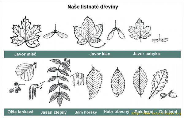 Nase Listnate Stromy Listy Prirodoveda Natural Science