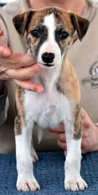 baby whippet