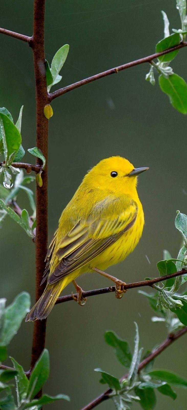 Beautiful Yellow Warbler Bird Birds Yellow Animals