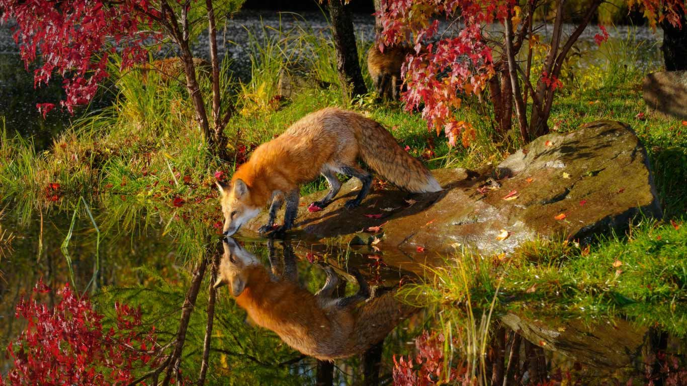 Red Fox Wallpaper Desktop Background (mit Bildern