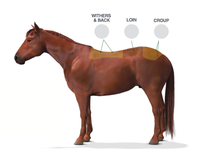 Identifying & Evaluating Your Horse's Topline – The Feed Room