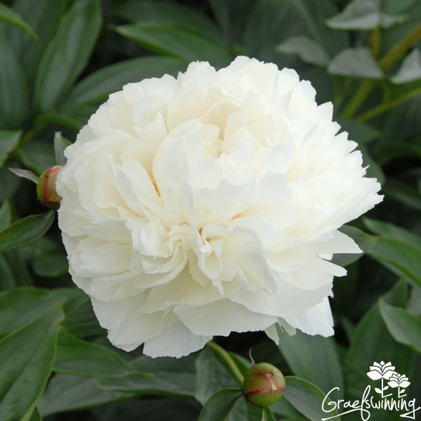 Paeonia Bowl of Cream, Graefswinning