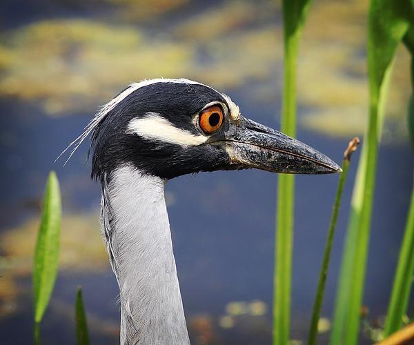 Yellow Crowned Night Heron, Brazos Bend State Park