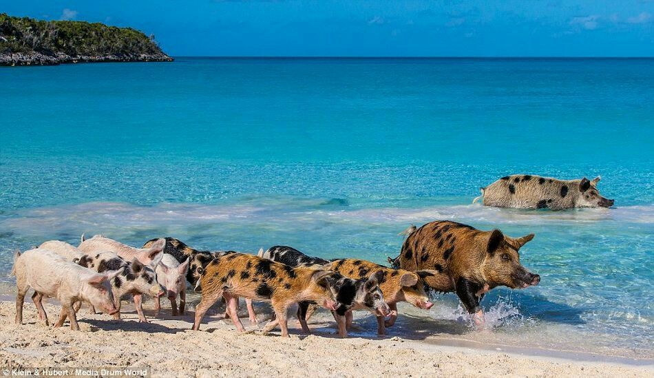 Exuma Bahamas Pig Beach