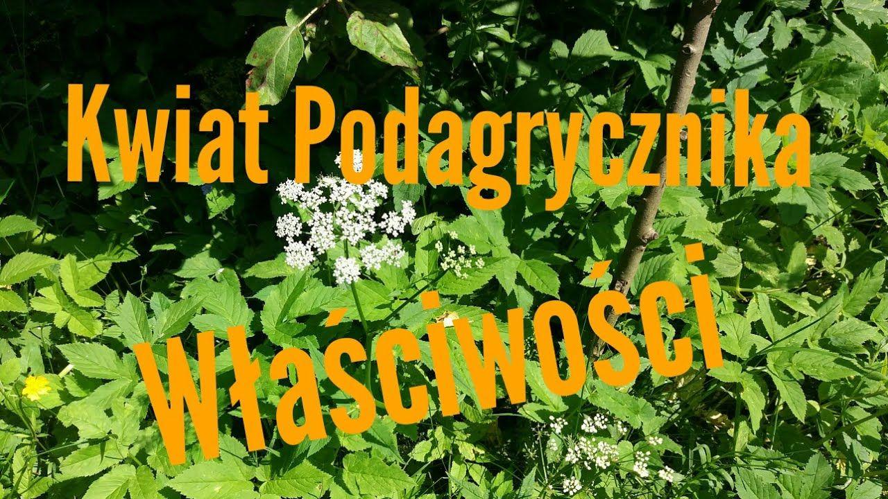 46 Kwiat Podagrycznika Wlasciwosci Herbs