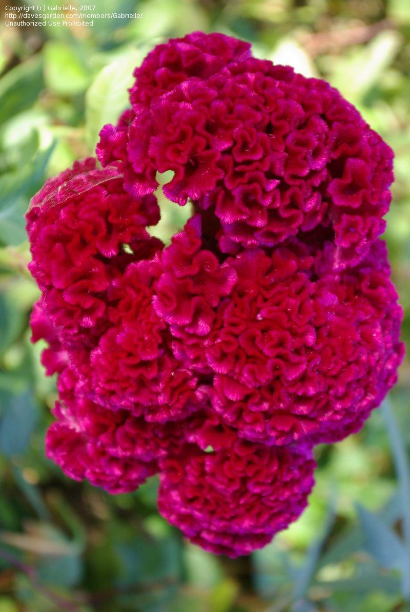 Cockscomb Cristata Group Celosia Argentea Var Cristata Beautiful Flowers Plants Flowers